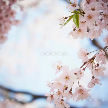 桜の写真素材 [FYI02052608]