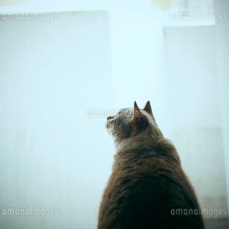 見上げるネコの後ろ姿の写真素材 [FYI02053158]
