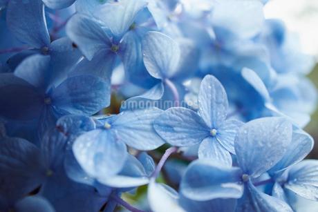紫陽花の花の写真素材 [FYI02053446]