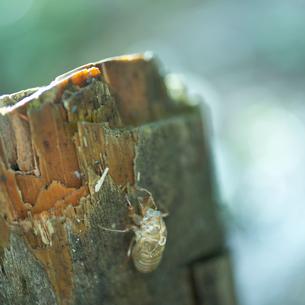 セミの抜け殻の写真素材 [FYI02054196]