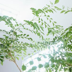 観葉植物の枝と窓の写真素材 [FYI02055261]