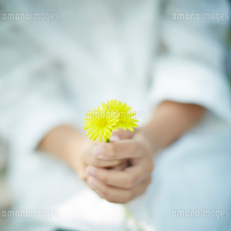 タンポポを持つ子供の手の写真素材 [FYI02055283]