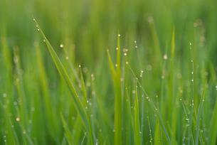 朝露の稲の写真素材 [FYI02055762]
