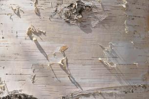 シラカバの幹の写真素材 [FYI02055821]