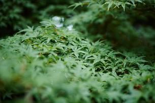 緑の葉の写真素材 [FYI02056304]