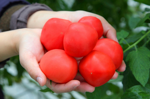 トマトを持った手の写真素材 [FYI02056445]