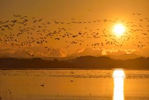 夜明けの伊豆沼とガンの群れ 宮城県の写真素材 [FYI02056483]