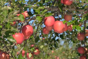 リンゴ ふじの写真素材 [FYI02057151]