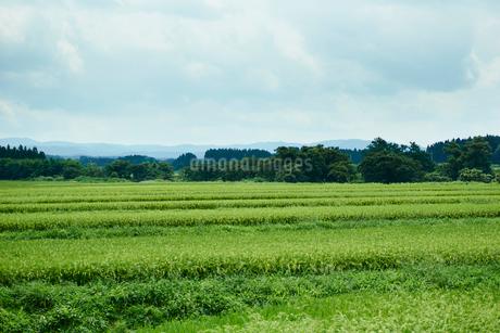 緑の水田の写真素材 [FYI02057183]