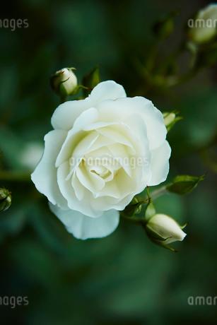 白いバラの写真素材 [FYI02057194]