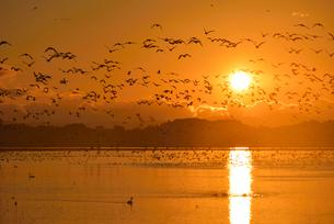 夜明けの伊豆沼とガンの群れ 宮城県の写真素材 [FYI02057329]