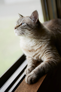 窓際のネコの写真素材 [FYI02057409]
