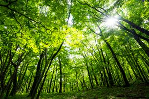 新緑の木漏れ日の写真素材 [FYI02057481]