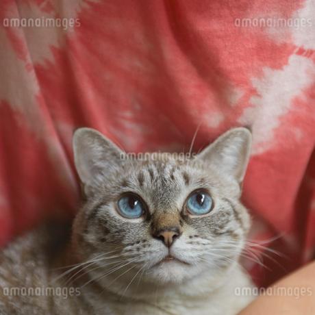 上目遣いのネコの写真素材 [FYI02057608]