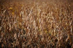 大豆畑の写真素材 [FYI02057773]