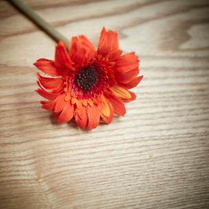 赤いガーベラの写真素材 [FYI02057944]