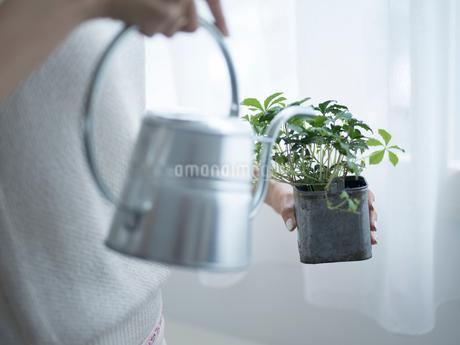 観葉植物に水をやる女性の手元の写真素材 [FYI02058112]