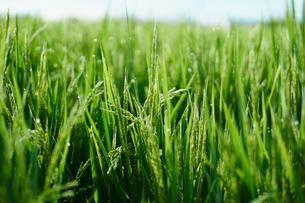 夏の稲の写真素材 [FYI02058356]