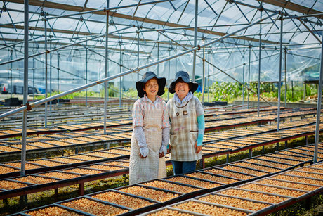 梅干しを作る女性2人の写真素材 [FYI02058409]