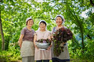 収穫したシソを持つ農婦3人の写真素材 [FYI02058671]