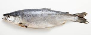 時鮭の写真素材 [FYI02058733]