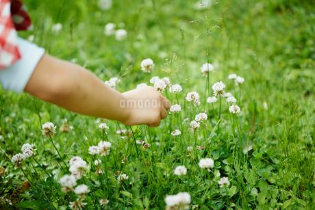シロツメクサの花と子どもの手の写真素材 [FYI02058974]