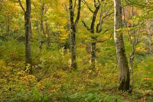 秋の温身平ブナ林の写真素材 [FYI02059127]