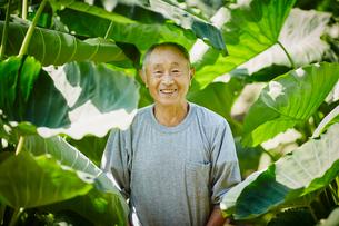 サトイモ畑の農夫の写真素材 [FYI02059796]
