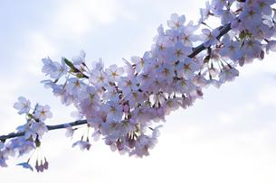 桜の写真素材 [FYI02059853]