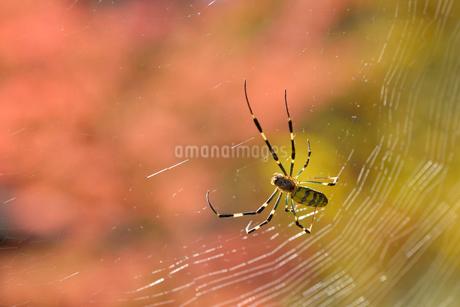 ジョロウグモの写真素材 [FYI02060145]
