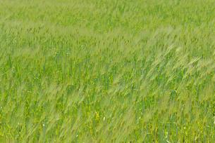 風に揺れるムギの写真素材 [FYI02060706]