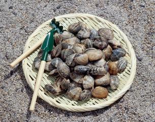 潮干狩りイメージ・アサリの写真素材 [FYI02060713]
