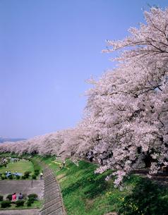 桧内川堤の桜並木の写真素材 [FYI02060714]