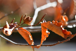 ブナの実と冬芽の写真素材 [FYI02060978]