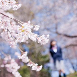 桜と女子中学生の写真素材 [FYI02061462]
