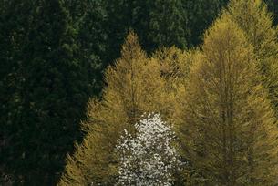 カツラとタムシバの写真素材 [FYI02061508]