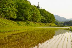 緑の木々と田植え後の水田の写真素材 [FYI02061858]
