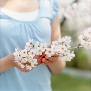 桜の枝を持つ女性の手元の写真素材 [FYI02062231]