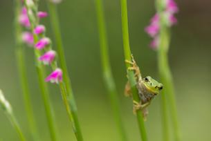 カエルの写真素材 [FYI02063527]