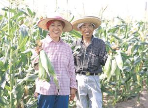 トウモロコシ畑の夫婦の写真素材 [FYI02064792]