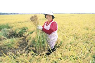 稲を刈る女性の写真素材 [FYI02065760]