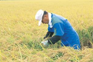 稲を刈る男性の写真素材 [FYI02066918]