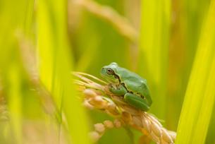 カエルの写真素材 [FYI02066960]