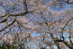 見上げた桜並木の枝の写真素材 [FYI02067128]