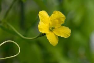 ゴーヤ雌花の写真素材 [FYI02067580]