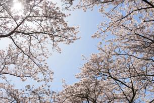 見上げた桜並木の枝の写真素材 [FYI02067791]