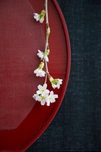 赤い盆と桜の花の写真素材 [FYI02067996]