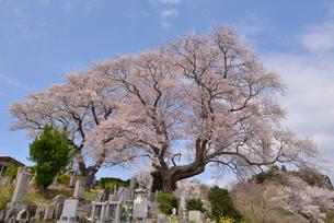弘法桜 福島県の写真素材 [FYI02068337]
