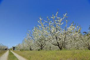 花咲くさくらんぼ畑 山形県の写真素材 [FYI02068863]