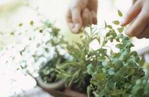 鉢植えのグリーンをさわる手元の写真素材 [FYI02069862]